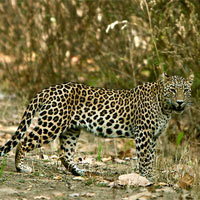 Leopards Wildlife